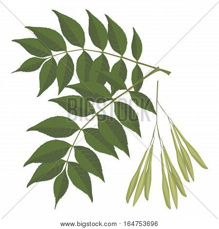 Ash tree leaves isolated on white background. Vector realistic illustration of green leaves of ash tree with buds full of seeds. Closeup of botanical plant foliage on branch in spring time
