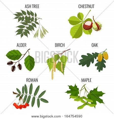 Ash tree leaves, brown chestnut, green alder, birch buds and maple keys or samara, oak with acorns, red rowan berries isolated on white background. Realistic detailed vector illustration
