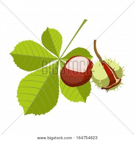 Chestnut isolated on white background. Vinous maroon fruit in spiny sharp cupule with ovate or lanceolate leaves. Realistic vector botanical illustration of horsechest plant with green foliage