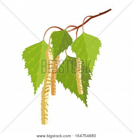 Birch with leaves and buds isolated on white background. Realistic vector detailed illustration of greenery foliage of birch tree in springtime. Botanical leafage widely used in medicine
