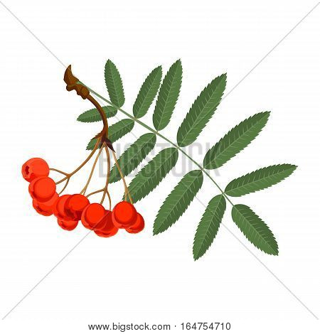 Rowan with green leaves and red berries isolated on white background. Mountain-ashes shrubs or trees. Realistic detailed vector illustration of greenery foliage of rowan with healthy fruit berries.