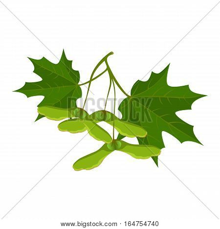 Maple leaves and samara or keys isolated on white background. Realistic detailed vector illustration of greenery foliage of maple tree in springtime. Botanical image of green tree maple at springtime