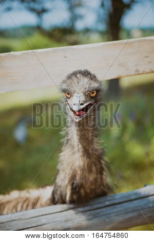 Portrait of Emu head face and neck in a farm