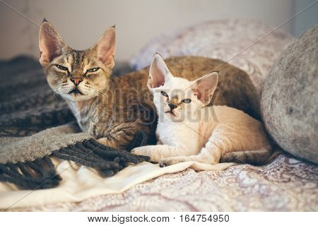 Portrait of adorable Devon Rex cats - mother and her small one month old kitten cats are laying down on the bed together. Cats feeling relaxed and comfortable felling safe and happy living at home