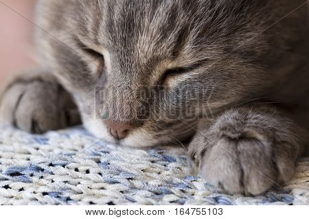 Detail of a beautiful soft tabby cat lying on its owner's shoulder and purring