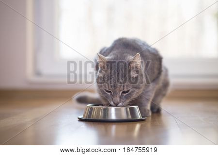Beautiful tabby cat sitting next to a food bowl placed on the floor next to the living room window and eating.