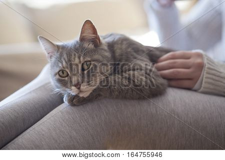 Furry tabby cat lying on its owner's lap enjoying being cuddled and purring.