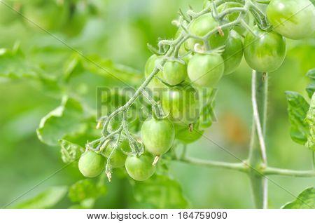 fresh tomato plant in the vegetable garden