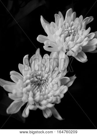 BLACK AND WHITE PHOTO OF CHRYSANTHEMUMS, SOMETIMES CALLED MUMS OR CHRYSANTHS