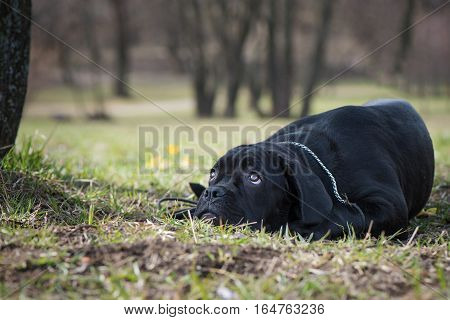 Cane Corso Italiano puppy with sad look lie on the grass on the natural forest background