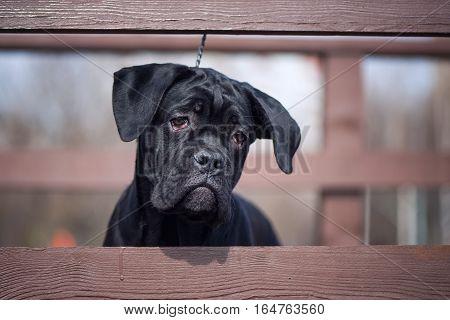 Portrait of Cane Corso Italiano puppy on the natural wooden bridge