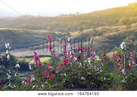 Beautiful Hollyhock flower or Alcea rosea in the garden.