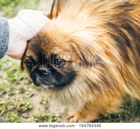 A cute pekingese dog and a man's hand outdoor