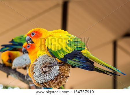 Colorful Sun Conure Parrot On Dry Sunflower