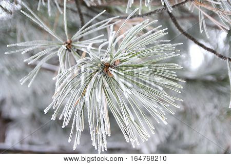 Pine branch with cones nestled in snow. Nature