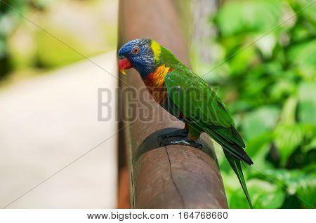 profile of rainbow lorikeet or trichoglossus moluccanus bird perched on railing