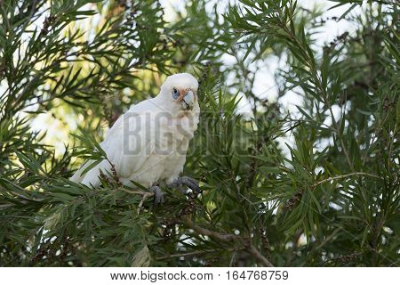Little Corella (Bare-eyed Cockatoo) perched in foliage on the South Perth Foreshore, Western Australia.