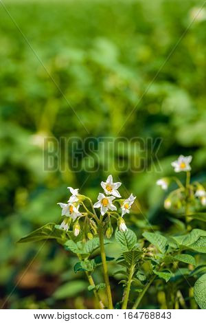Closeup of white and yellow budding and blossoming potato plants in the field on a sunny day in the Dutch summer season.