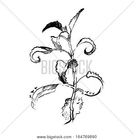 Aloe Vera plant hand drawn engraving illustration on white background. Ingredient for traditional medicine, treatment, body care, cooking or gardening. Aloe Succulent cactus Engraving style.