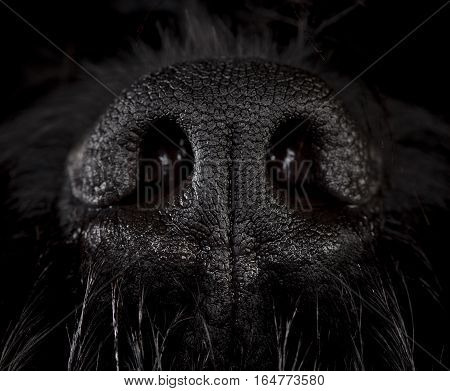 Snout of black russian terrier dog in studio