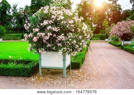 Beautiful garden with green hedges with trees alley green lawns bright flower .
