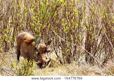 Warthog hiding in the bushes in Addo