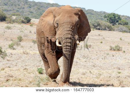 Coming Closer - African Bush Elephant