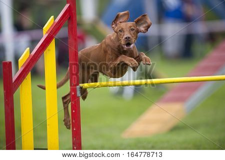 Hungarian Pointer Viszla jumping over yellow hurdle on agility competition. He has funny flying ears and very happy expression on his face.