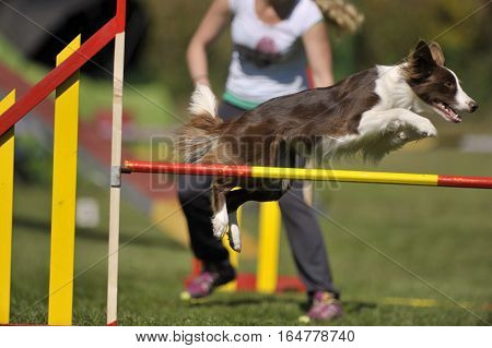 Beautiful brown border collie on agility course, over the jump hurdle