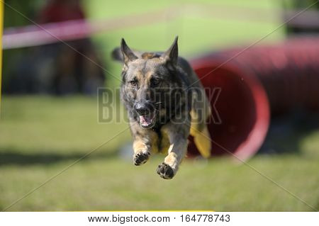 German Shepherd on agility competition, over the bar jump. Proud dog jumping over obstacle