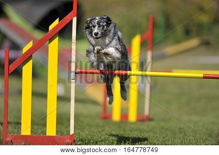 Border Collie jumping over yellow hurdle on agility competition.
