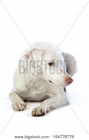 White Mixed dog lying down in studio