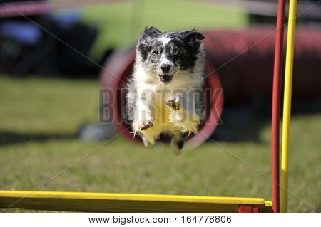 Border Collie flying over obstacle on agility competition. Very attentive dog focused on his work.