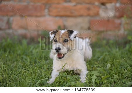 Portrait of cute white Terrier. Smiling Terrier laying down on grass. He is happy and obedient, waiting for next command of his owner.
