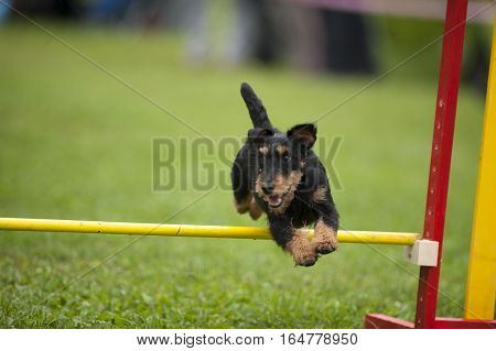 German Hunt Terrier on agility competition jumping over the yellow hurdle. He is happy to do his playing game