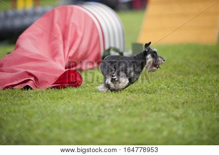 Miniature Schnauzer running very fast on an outdoors agility competition. He is just out of the red tunnel.