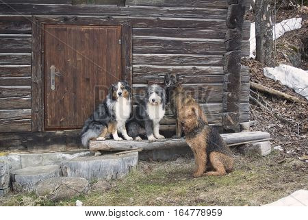 Pack of purebred dogs: australian shepherd, bearded collie, belgian malinois, airdale terrier resting in front of old wooden cabine with nice wooden door. Scene of nice autumn brown colors.