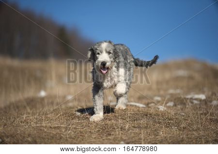 Cute purebred Bearded Collie, Beardie enjoying his life in nature. He is trimmed with short, blue & black color coat with white markings. He looks like happy puppy who want to play with his owner