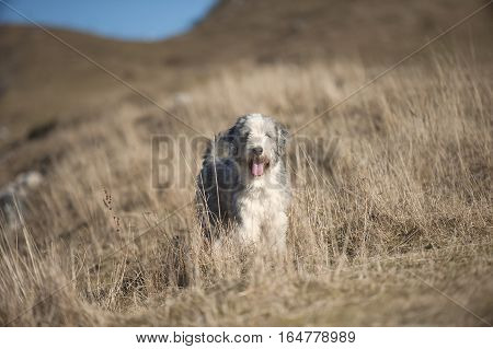 Bearded collie standing in brown meadow on mountains.
