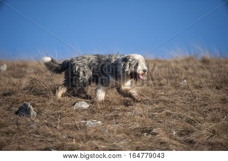 Bearded collie with short coat in motion, side view. He is walking in brown grass on a beautiful sunny day with blue sky where is place to write a quote.