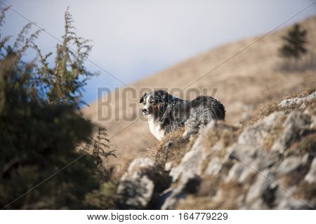 Beautiful blue merle Australian Shepherd dog on sunny walk in the mountains.