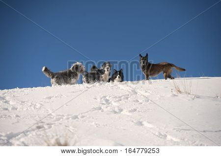 Dog pack playing on the mountain ridge: bearded collie, border collie, belgian sheepdog, pumi
