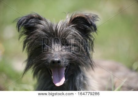 Funny smiling dog. Grey, funny, tousled Pyrenean Sheepdog with green eyes smiling in a green meadow as background. He has eyes shut and protruding ears.
