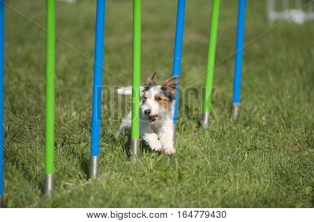 Cute happy dog running through slalom on agility competition