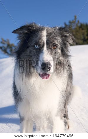 Portrait of beautiful Border Collie standing in the snow. He has blue and brown eyes. It is nice sunny winter day