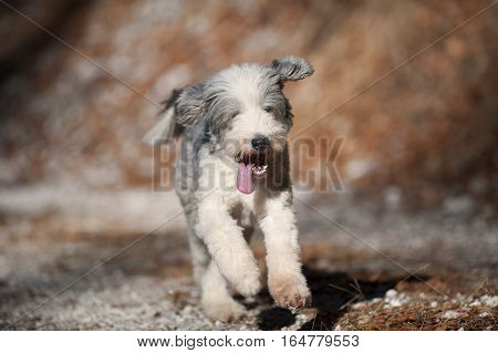 Happy purebred dog bearded collie running. He has short coat, blue with white markings. Portrait of bearded collie, hair cut ready for winter