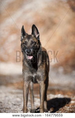 Belgian Sheepdog in standing position from the front view