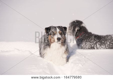 Blue merle australian shepherd in deep snow. Fluffy blue merle australian shepherd dog walking in deep snow. It is all white of snow, dog is showing happiness. He is doing snow track behind him