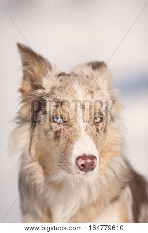 Portrait of beautiful blue eyes red merle border collie looking aside. He has nice brown nose with pink spots