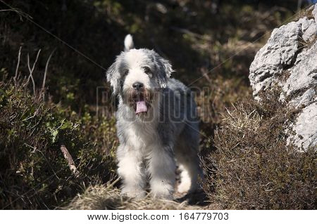 Cute Bearded collie standing in nature on mountains